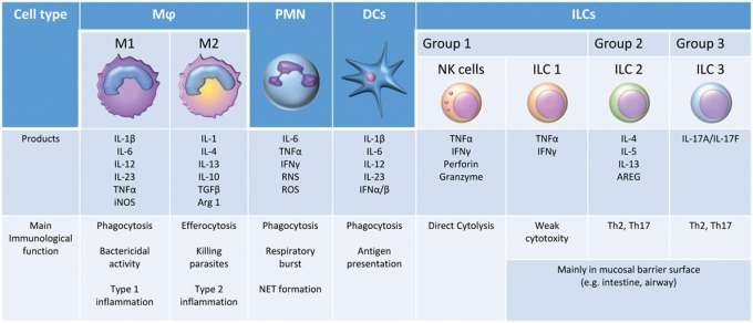Table showing different immune cells and their functions